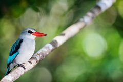 Kingfisher in Mozambique. Kingfisher bird sitting on a branch, Mozambique, Africa royalty free stock photos