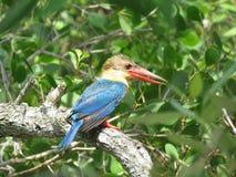 Kingfisher Bird Stock Photography