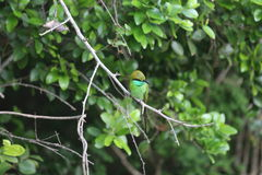 Kingfisher bird Royalty Free Stock Photography