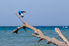 Kingfisher bird taking off from fallen tree on a. Kingfisher bird taking off from fallen tree on a beach at Havelock island, Andamans, India. Kingfisher flying Stock Photography