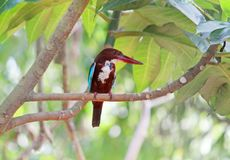 Kingfisher bird on a tree. Kingfisher sitting and watching the surroundings Stock Photos
