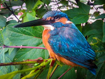 Kingfisher bird Stock Images