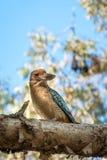 Kingfisher Blue-winged Kookaburra at Katherine Gorge, Australia stock photography