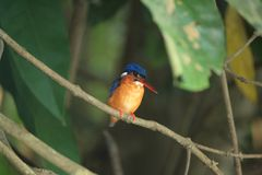 Kingfisher in borneo Stock Images