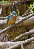 Kingfisher on branch stock photo