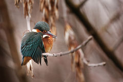 Kingfisher on a branch Stock Photo