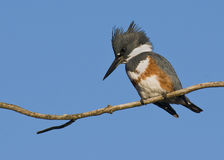 Kingfisher on branch Stock Images