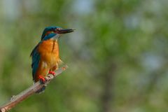 Kingfisher on a branch on green background Royalty Free Stock Photo