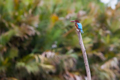 Kingfisher on branch. Kingfisher (Halcyon smyrnensis) on branch at Madu Ganga River - Sri Lanka Royalty Free Stock Photography