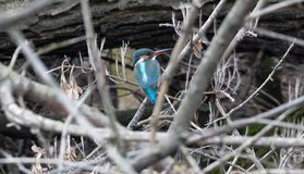 Kingfisher on a branch in its natural habitat royalty free stock photos