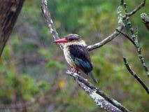 Kingfisher Royalty Free Stock Image
