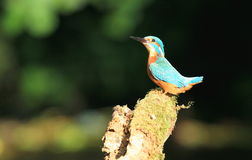 Kingfisher calling. Stock Images