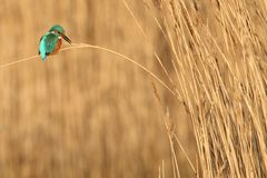 Kingfisher Calling From Reed stock photo
