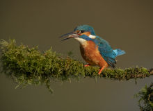 Kingfisher with catch Stock Image