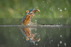 Kingfisher with catch. Stock Photography