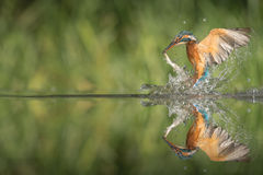 Kingfisher with catch. A female Kingfisher leaving the water after a successful dive.  She has caught a minow by the tail, and to help protect her eyes she Stock Image
