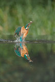 Kingfisher with catch. Stock Images
