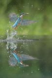 Kingfisher with catch. Royalty Free Stock Image