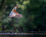 Kingfisher with catch Royalty Free Stock Photography