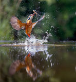 Kingfisher with catch Stock Photos
