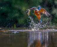 Kingfisher with catch Royalty Free Stock Photo