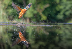 Kingfisher with catch Stock Photo