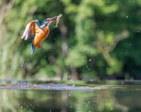 Kingfisher with catch Royalty Free Stock Images
