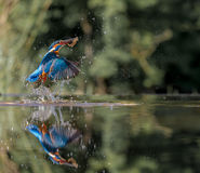 Kingfisher with catch Royalty Free Stock Photos