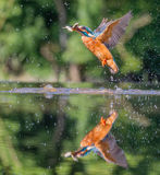Kingfisher with catch Royalty Free Stock Image