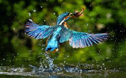 Kingfisher catching fish Stock Photos