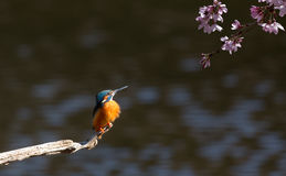 Kingfisher and cherry blossom Stock Image