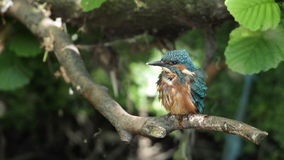Kingfisher chick. Royalty Free Stock Images