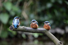 Kingfisher chicks. View of three kingfisher chicks on a perch against a dark background Royalty Free Stock Photo