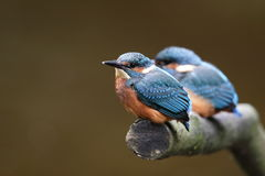 Kingfisher chicks. Royalty Free Stock Images