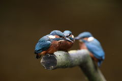 Kingfisher chicks. Royalty Free Stock Photos