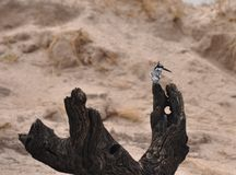 Kingfisher on the Chobi River Royalty Free Stock Photography