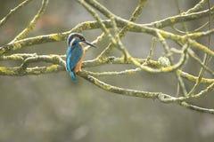 Kingfisher closeup Royalty Free Stock Photo