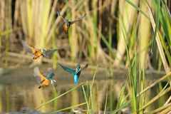 Kingfisher. The Common Kingfisher flys in the swamp. Scientific name: Alcedo atthis Royalty Free Stock Image
