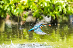 Kingfisher. Common kingfisher stand on little stick Stock Images