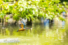 Kingfisher Royalty Free Stock Photos