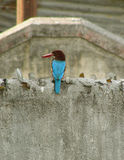 Kingfisher On Concrete Wall. A lone colorful kingfisher sitting alone on a Grey rough concrete wall Stock Image