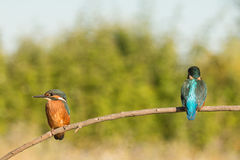 Kingfisher couple perched on a branch Stock Photo