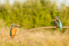 Kingfisher couple perched on a branch Royalty Free Stock Image