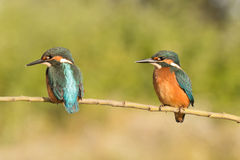 Kingfisher couple perched on a branch Stock Image