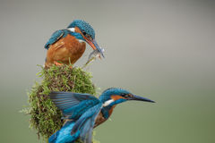 Kingfisher courtship ritual. After giving the female a gift of fish, the male kingfisher flies away to catch his own fish Stock Photos