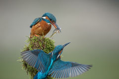 Kingfisher courtship ritual. After giving the female a gift of fish, the male kingfisher prepares to fly away Stock Photo