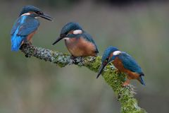 Kingfisher, Dad with two young Royalty Free Stock Image