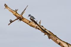Kingfisher on dead tree Stock Photo