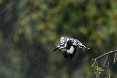Kingfisher. Dive and catch fish efficiently Royalty Free Stock Photo