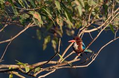 Kingfisher. Dive and catch fish efficiently Royalty Free Stock Photography